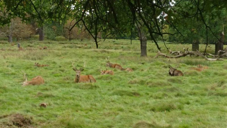 王の狩猟場:ロンドンの「鹿公園」リッチモンドパークの散策がおすすめ!